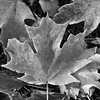 TEDD LiGGETT's phOTOGRAPH_oF_tHE_dAY #2990 - Frosted the Maple Leaf