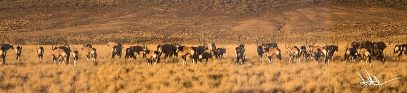 Oryx Herd.jpg