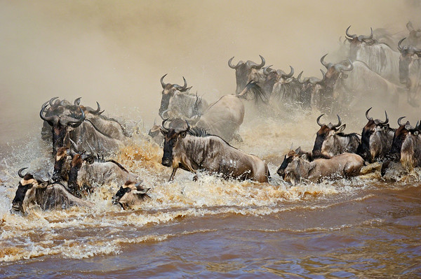 """River crossing in the migration at Masai Mara"""
