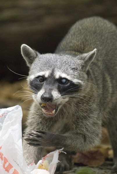 Raccoon Family (includes coatis)