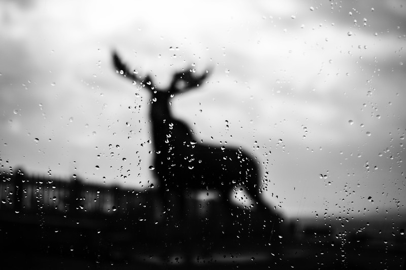 BW Raindrop Cow Bay Moose.jpg