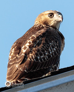 Hawk on the Roof