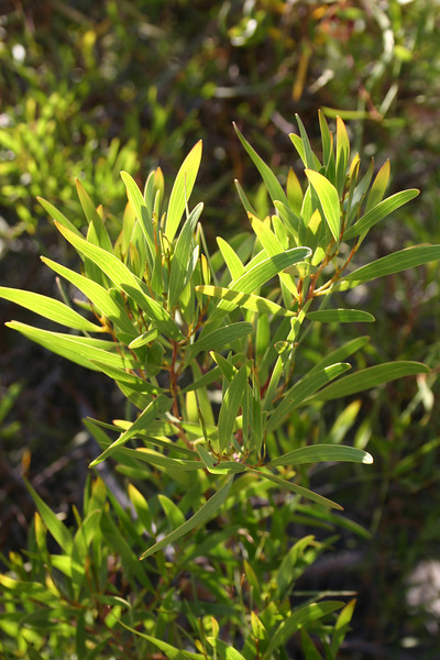 Red-eye or coastal wattle, Acacia cyclops, not native