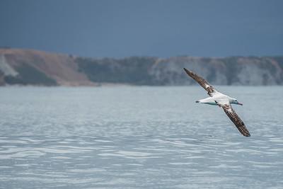 Wandering Albatross [Diomedea exulans]