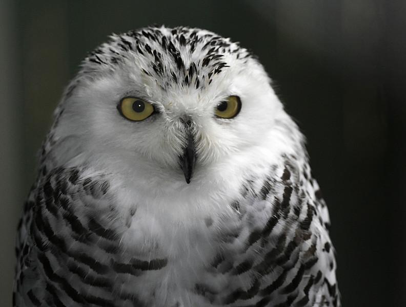 Snowy owl  VINS Queechee, VT
