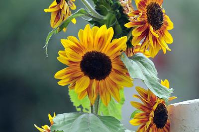 Sunflowers & Daisy like