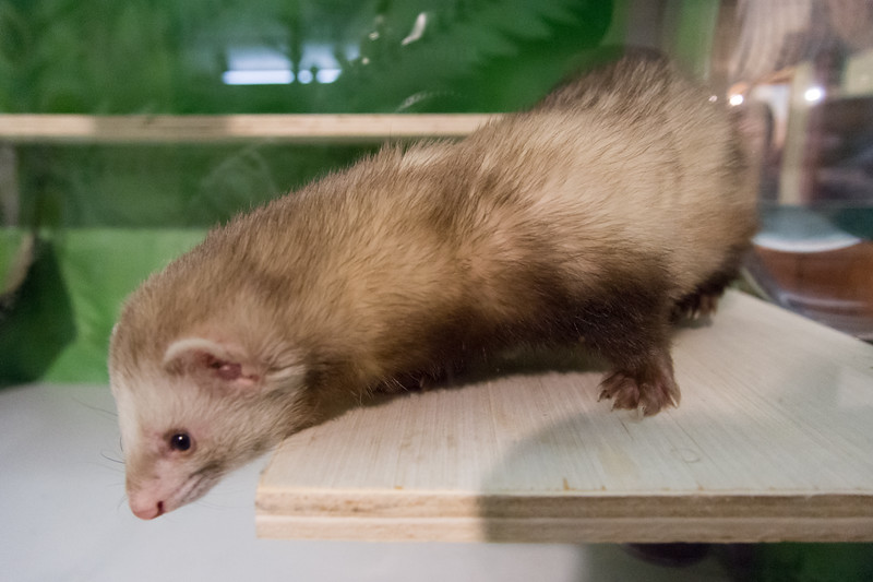 02/01/19  Wesley Bunnell | Staff  One of the New Britain Youth Museum's ferrets explores his new home after climbing through clear tubing suspended across the wall. New Executive Director Tom Pascocello has updated many of the museum's exhibits since taking over.