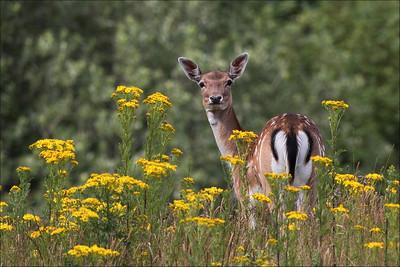 Dådyr/Dåhjort -  Fallow deer