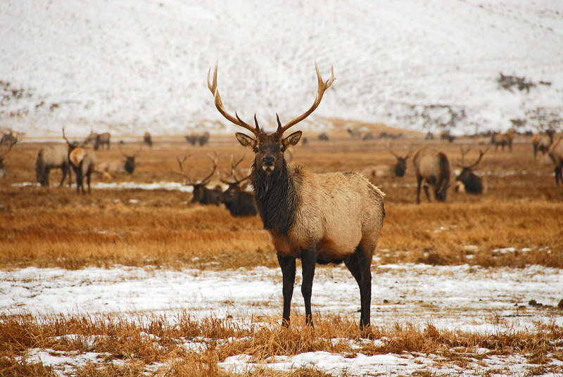 Elk   (Dec 13, 2006, 02:32pm)  Picture taken from a wagon (in the rain) at the National Elk Refuge in Jackson Hole.