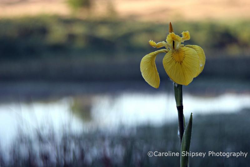 Yellow Flag, Iris