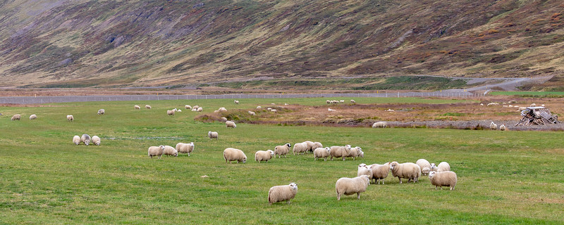 Icelandic sheep - Westfjords