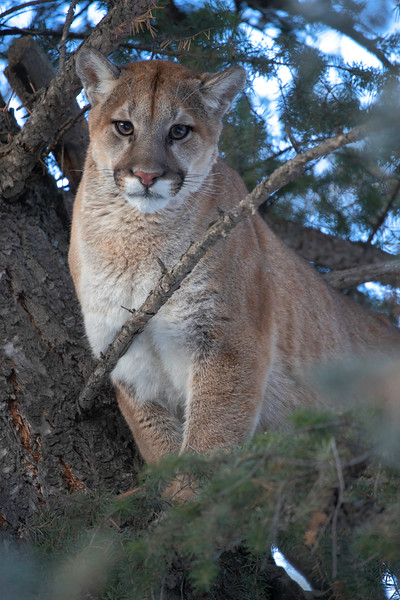 Mountain Lion mom wide upright.jpg