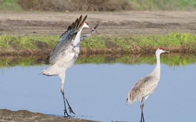 Sandhill Cranes - Lodi, CA
