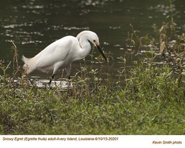 Snowy Egret  A70201.jpg