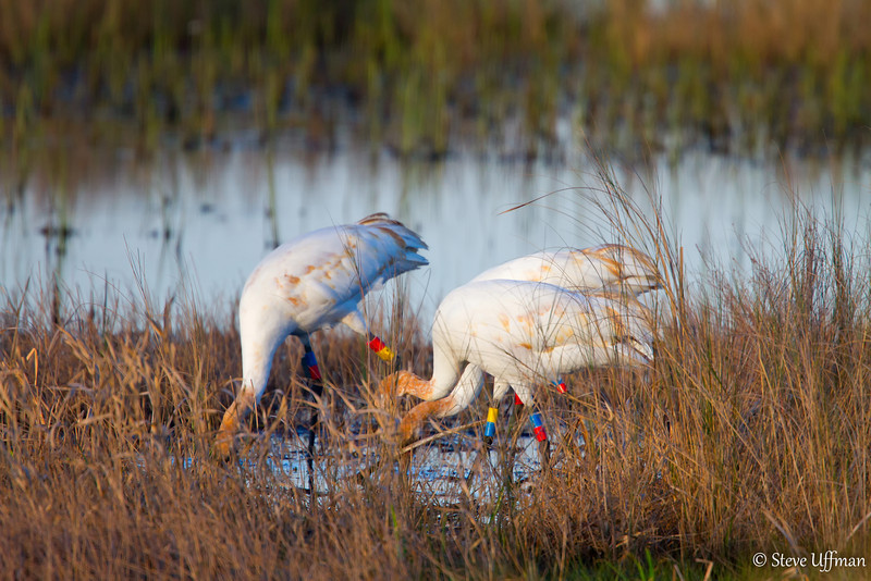 20120207-_MG_2617Whooping_Cranes_White_Lake-Edit.jpg