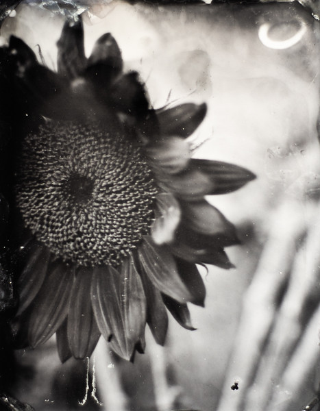 sunflowers (4 of 4).jpg