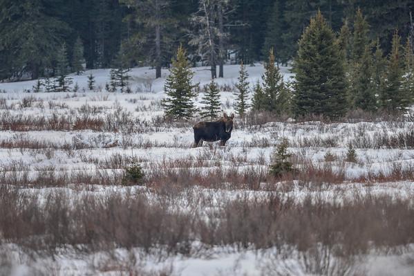 1-22-14 Cow Moose In Deep Snow