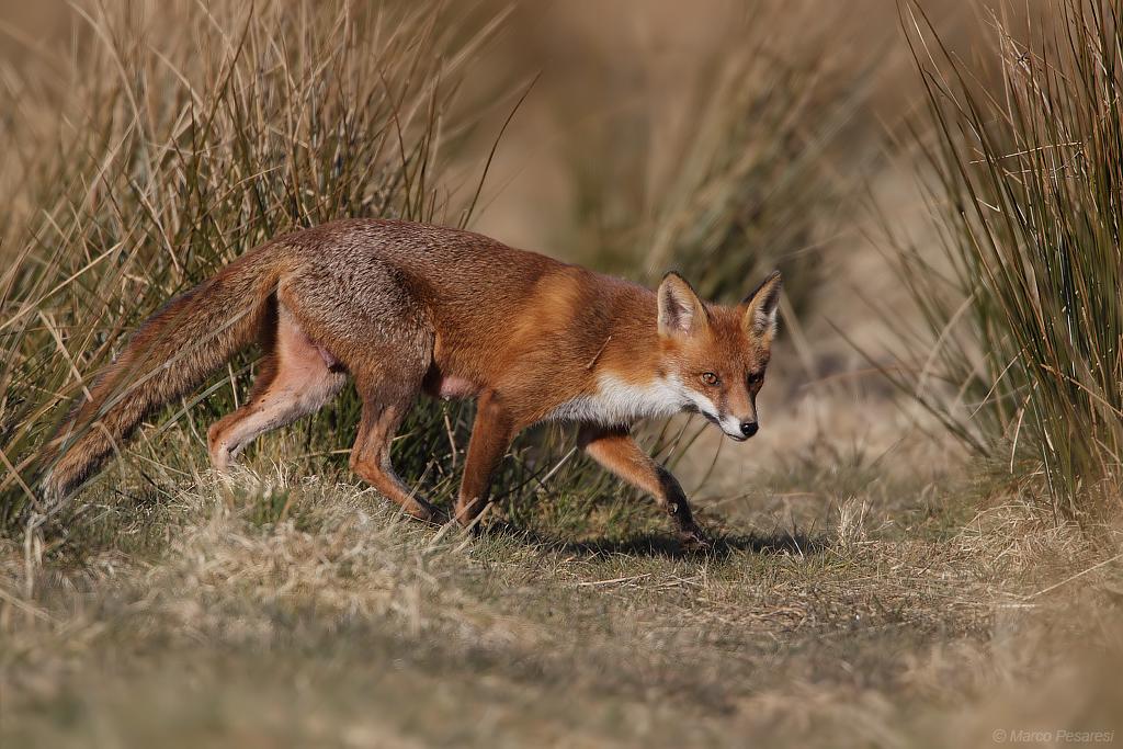 7. Red Fox