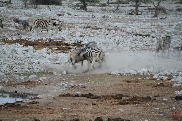 Zebras in Eotsha National park, Namibia 5