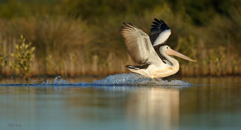 Australian Pelican - landing MASTER.jpg
