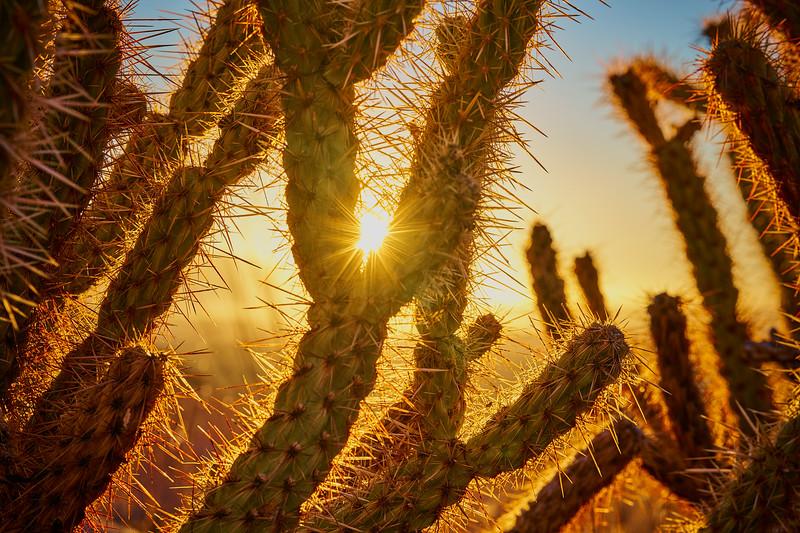 Sunrise through cactus in Anza Borrego Desert State Park