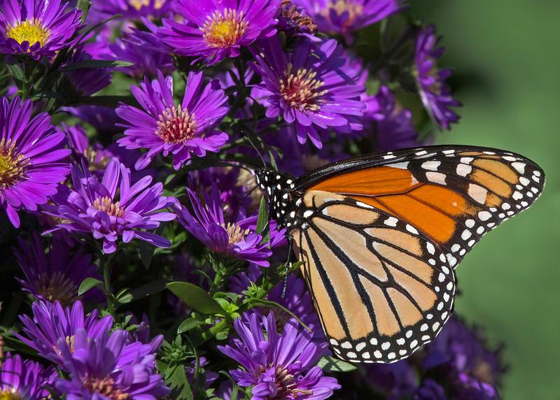 Monarch01.jpg