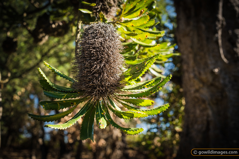 Saw Banksia, The Lakes NP