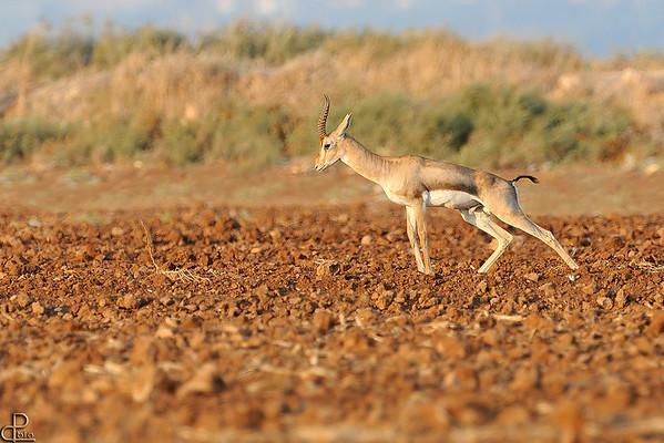 Mountain gazelle - צבי ארץ ישראלי