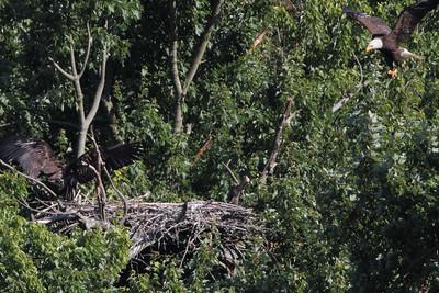Huntingburg Eagle Nest - June 22