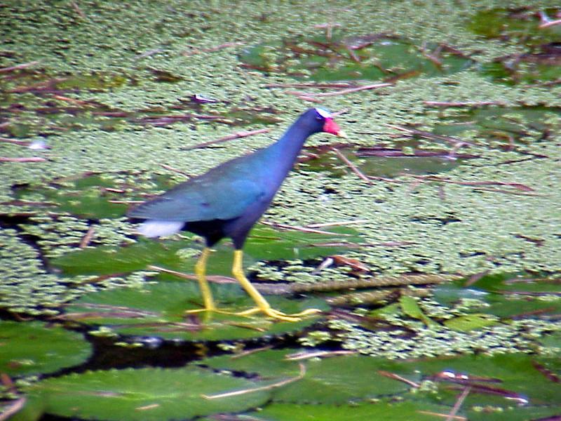 Purple Gallinule at Catie Pond Turrialba Costa Rica 2-13-03 (50898218)