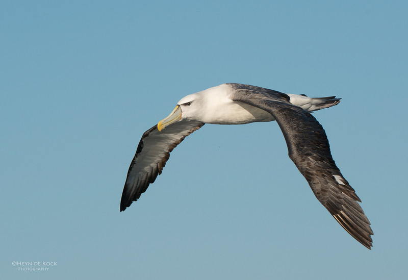 Shy Albatross, Wollongong Pelagic, NSW, Aus, Jul 2013-2.jpg