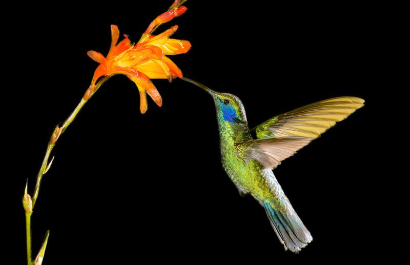 Green Violet-ear Hummingbird eating nectar