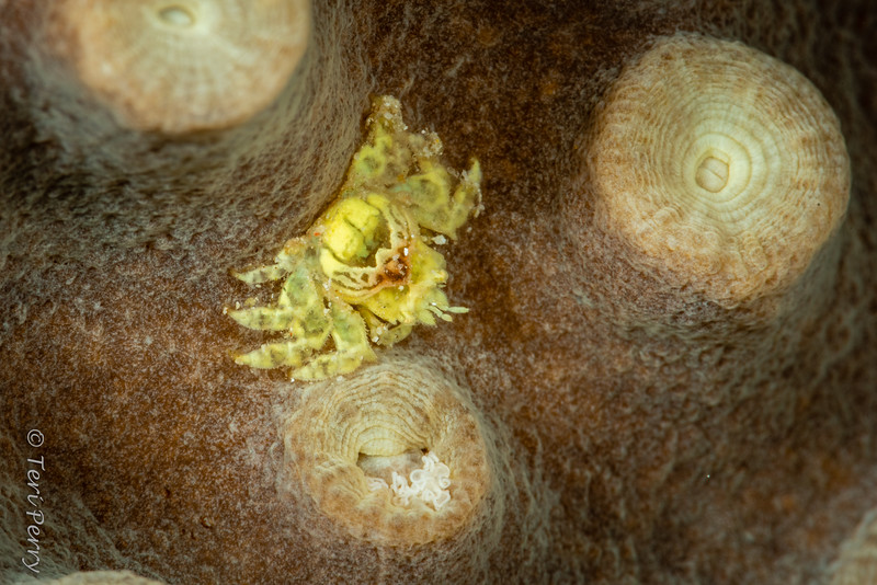 CRAB - Cryptochiroidea Coral gall crab-3925.jpg