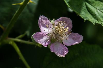 Rose Family - Rosenfamilien