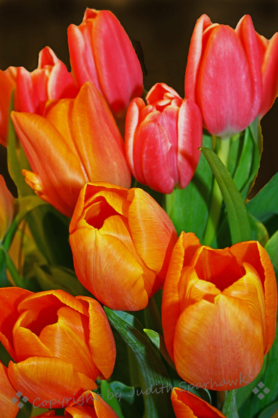 Tulips Bright.jpg