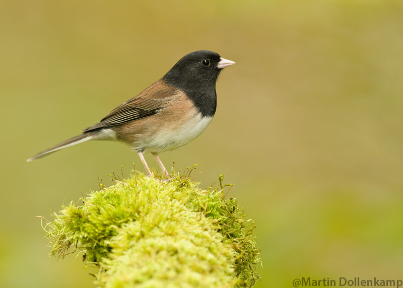 Dark-eyed Junco, winter bird for us, they don't go far but nest elsewhere.