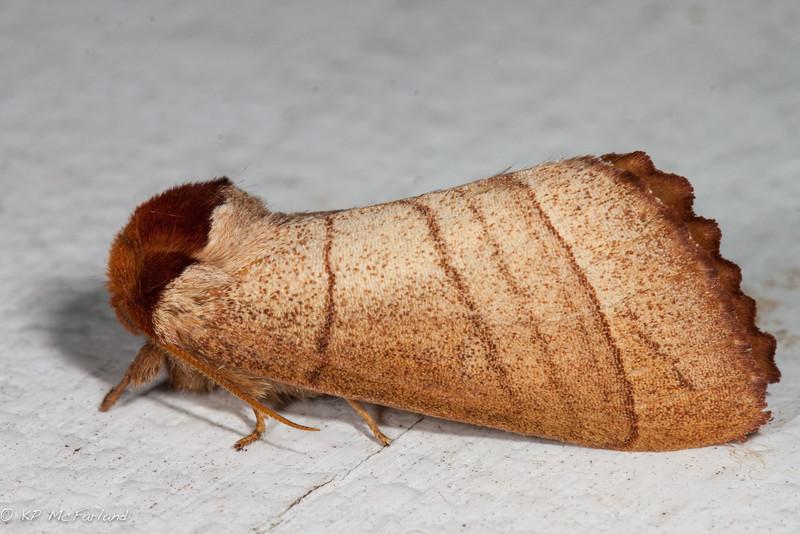 Datana ministra – Yellow-necked Caterpillar Moth