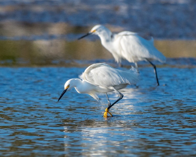Snowy Egrets - Morning Hunt