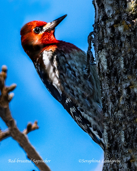 _DSC8291Red-breasted Sapsucker.jpg