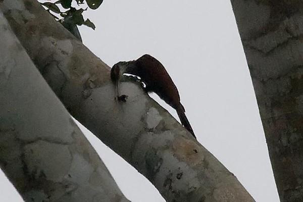 Long-billed Woodcreeper (2) at Boca Manu, Peru (2008-07-12).psd