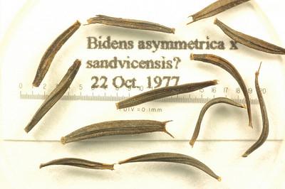 Bidens asymmetrica x sandvicensis