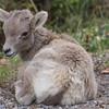 Big Horn Sheep - Banff