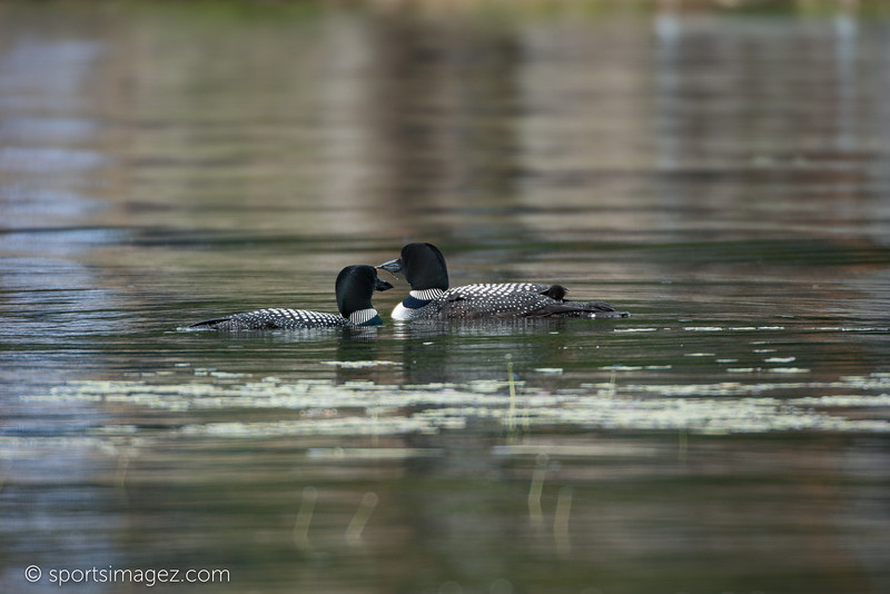 Halfmoon Lake Loon Hatch