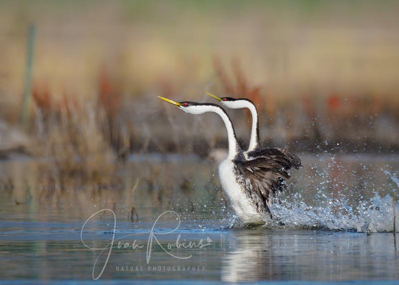 Western Grebes dancing, Black Butte Lake, CA