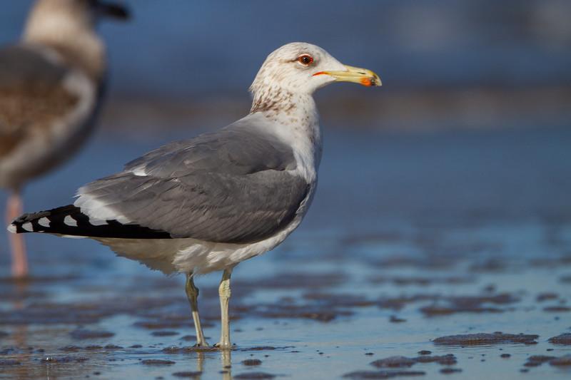 California Gull - Half Moon Bay, CA, USA