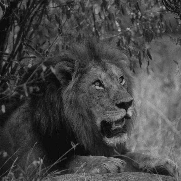 Lion_Kenya.jpg