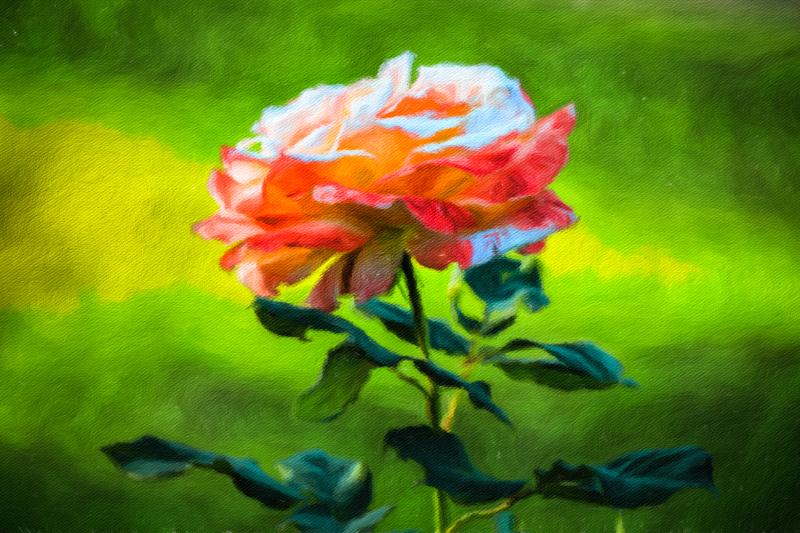 October 27 - Rose in the afteernoon.jpg