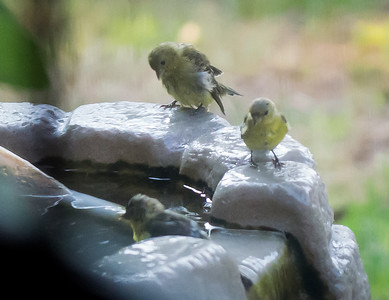 BACKYARD FINCHES