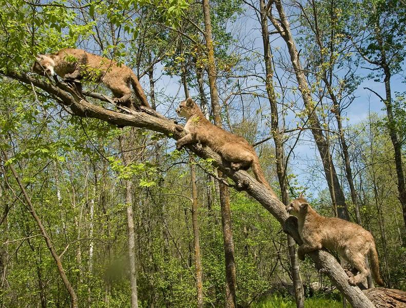 Cougars-4.jpg