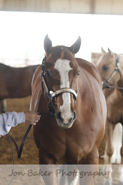 Halter Mares and Color classes (6-9)